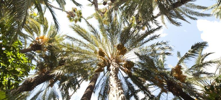 El Consell aprova l'Avantprojecte de Llei de protecció i promoció del Palmerar d'Elx